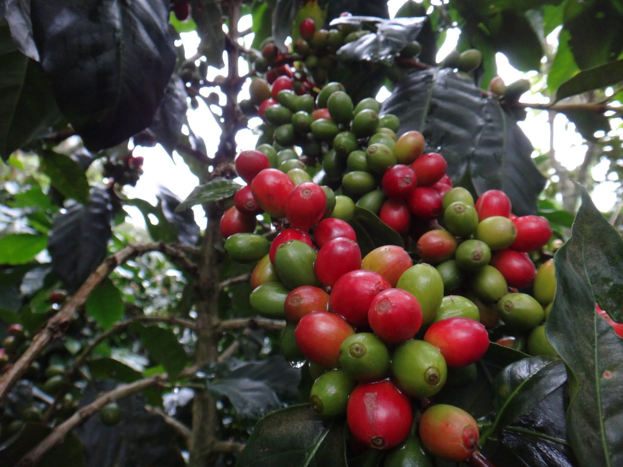 flor-del-pino-honduras-fairtrade-coffee-31