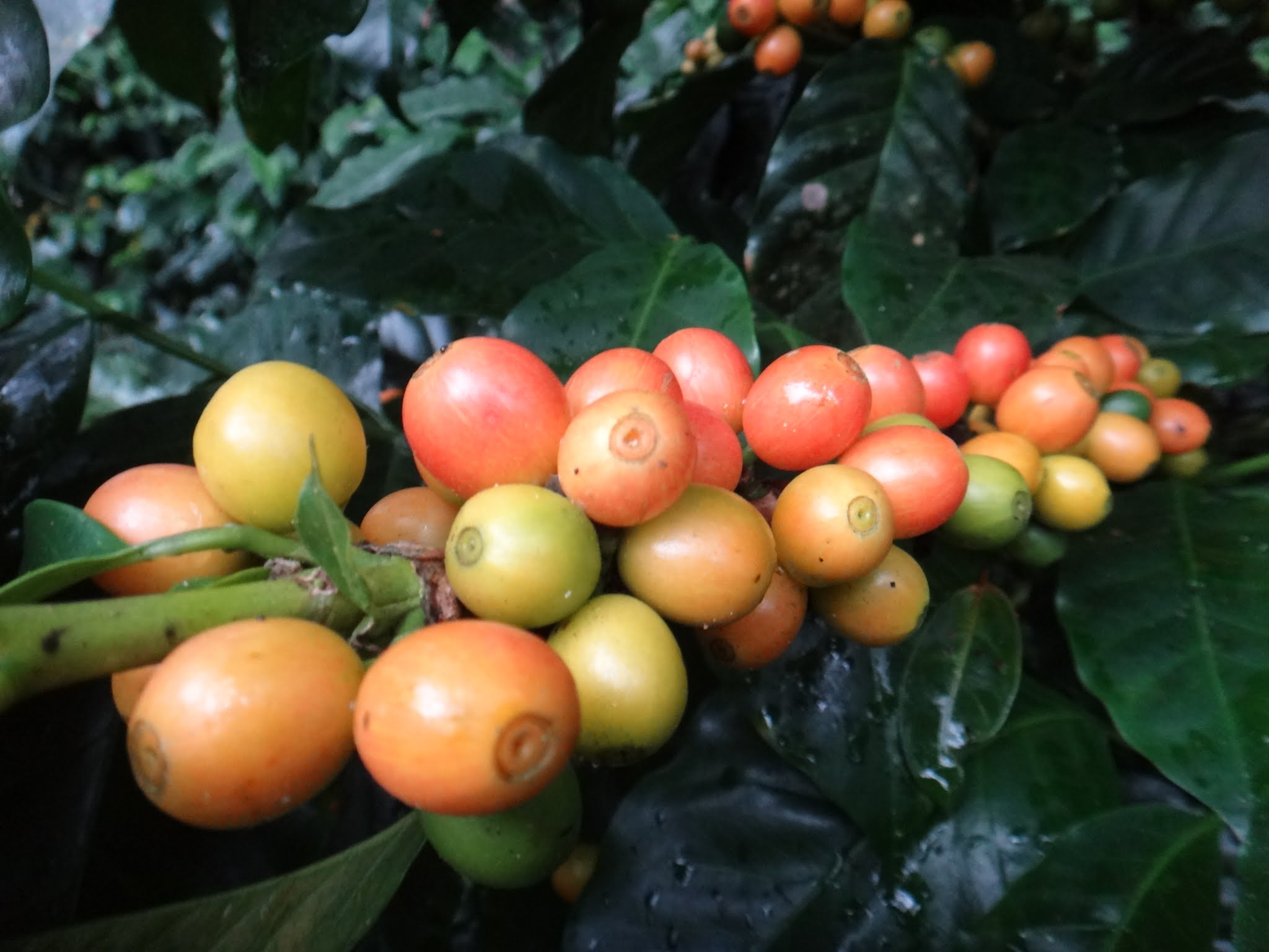 flor-del-pino-honduras-fairtrade-coffee-35