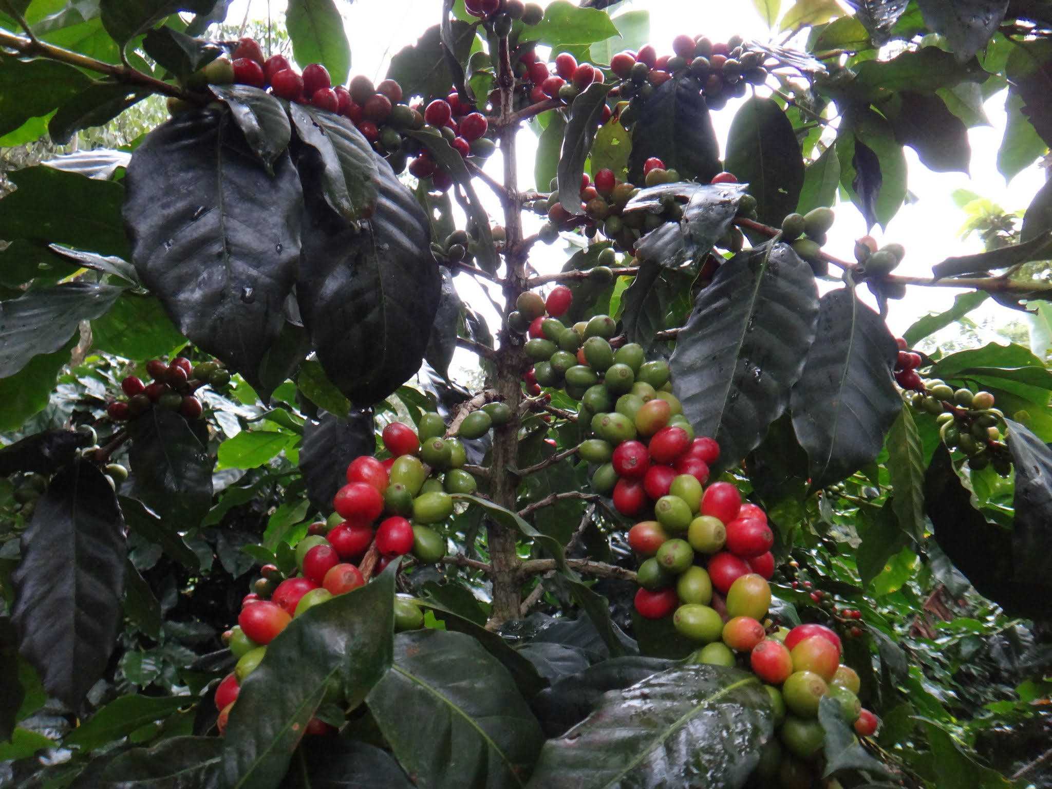 flor-del-pino-honduras-fairtrade-coffee-29